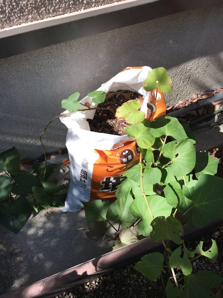 袋栽培の芋